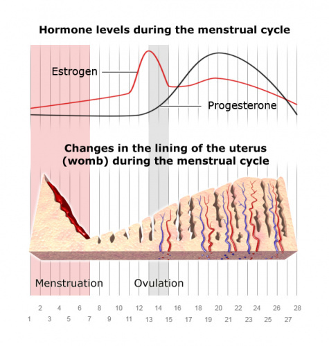 Changes in the uterine lining, and endometriosis growth and bleeding throughout the menstrual cycle