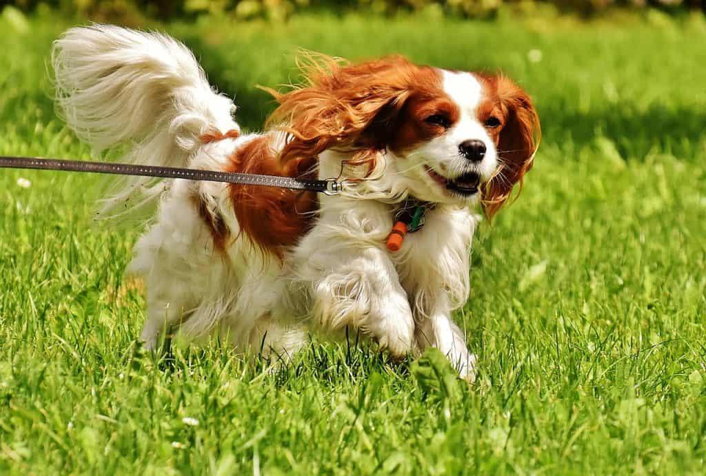 cavalier king charles spaniel running through grass on a leash