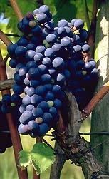 сорт винограда Маршал Фош