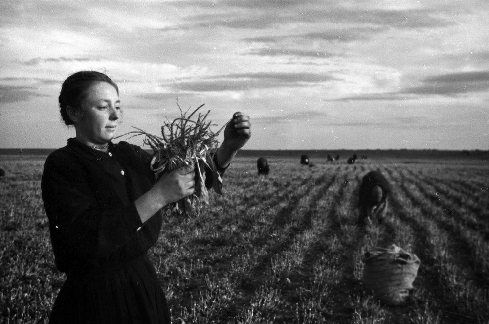 В Союзе отечественный каучук получали из кок-сагыза. Его выращивание было трудоемким и малопонятным. На фото — звеньевая колхоза 12-летия Октября проверяет качество корней кок-сагыза. Житомирская область, 1950 год