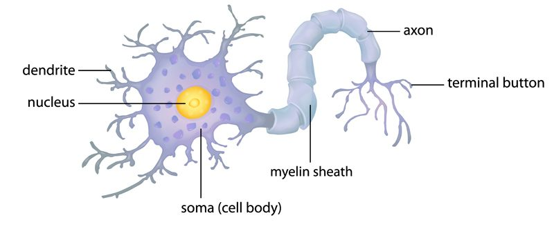 A diagram of the brain's nerve cells