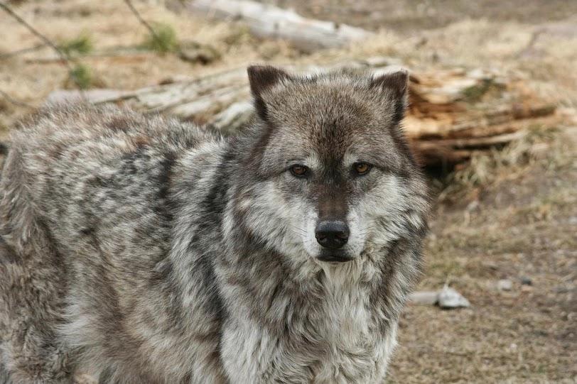 Lobo, Valle de Lamar en PN de Yellowstone