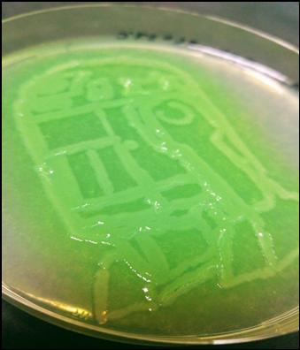 Pseudomonas aeruginosa sur Cétrimide
