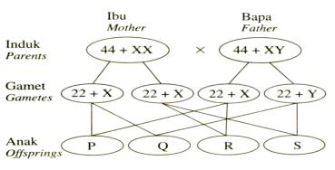 Anak yang manakah mempunyai kromosom 44 + XY?