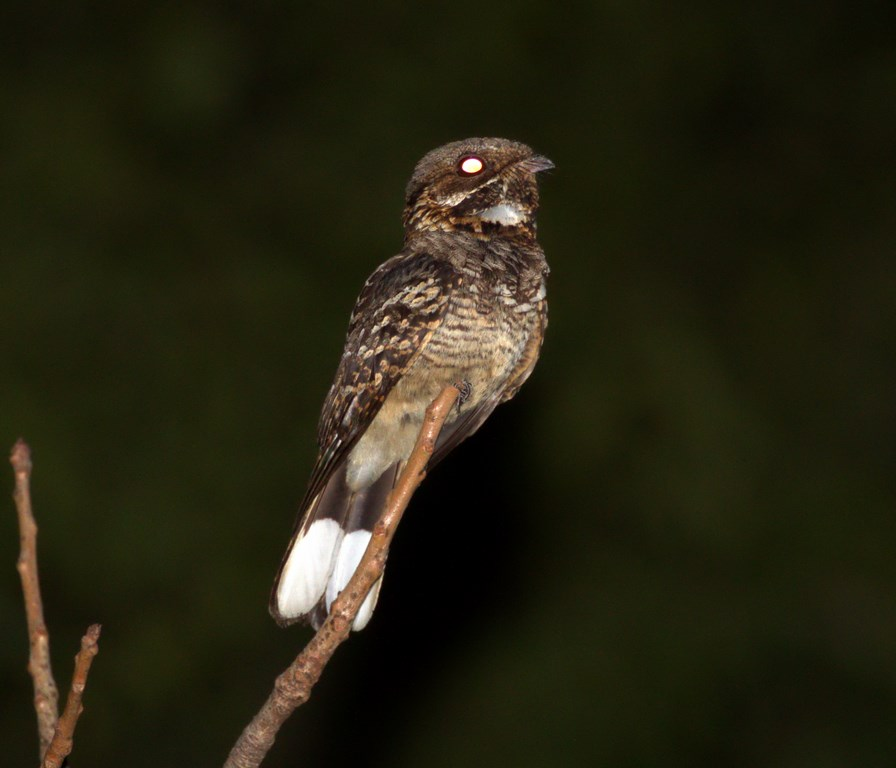 fiery-necked nightjar (Copy).jpg