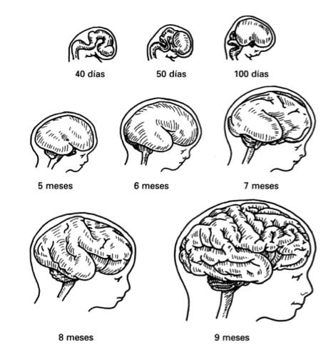 Cerebro y exterogestación