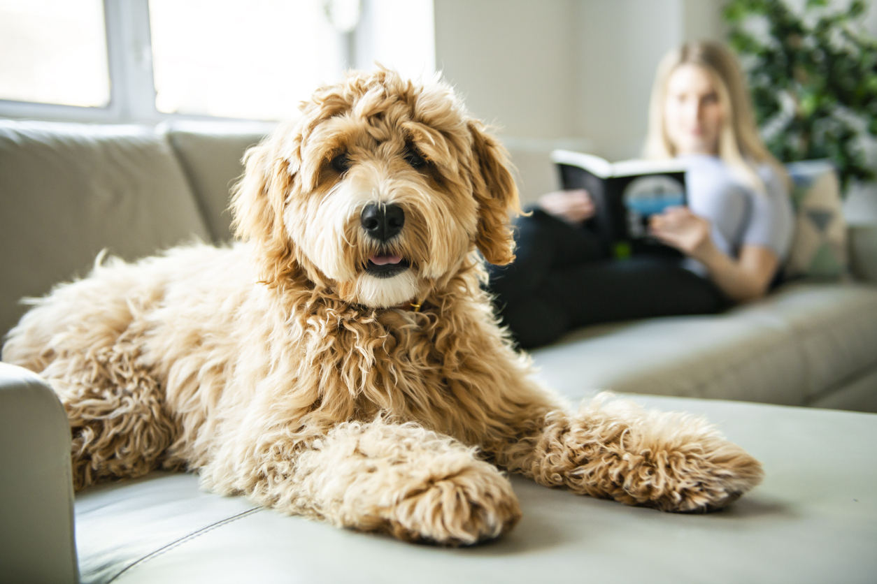 Labradoodle sitting on a couch in front of a woman reading a book