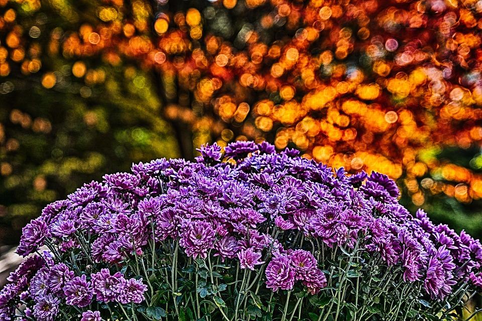 chrysanthemum-176030_960_720.jpg