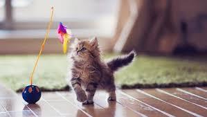 ผลการค้นหารูปภาพสำหรับ แมวขี้เล่น