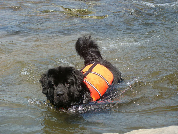 Image result for newfoundland dog rescue