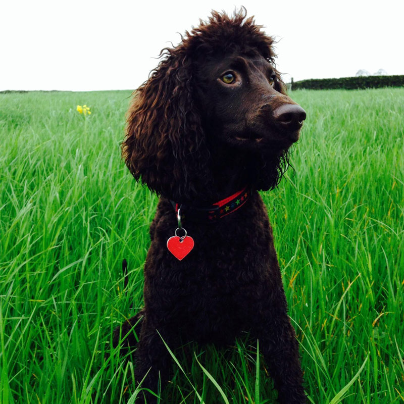 BorrowMyDoggy Irish Water Spaniel