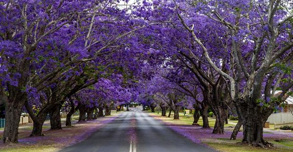 Hoa Jacaranda rực tím một vùng nước Úc