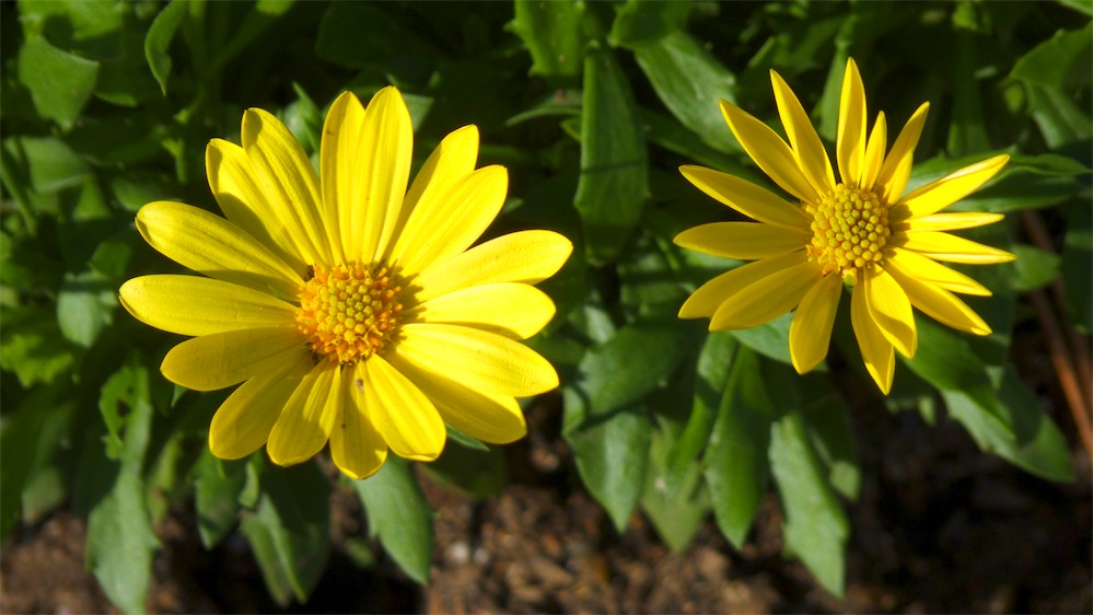 Yellow Pair.jpg