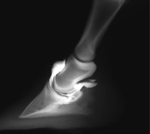 Debido a que el receso dorsal de la articulación IFD se extiende proximalmente, la articulación es de fácil acceso usando el abordaje dorsal paralelo