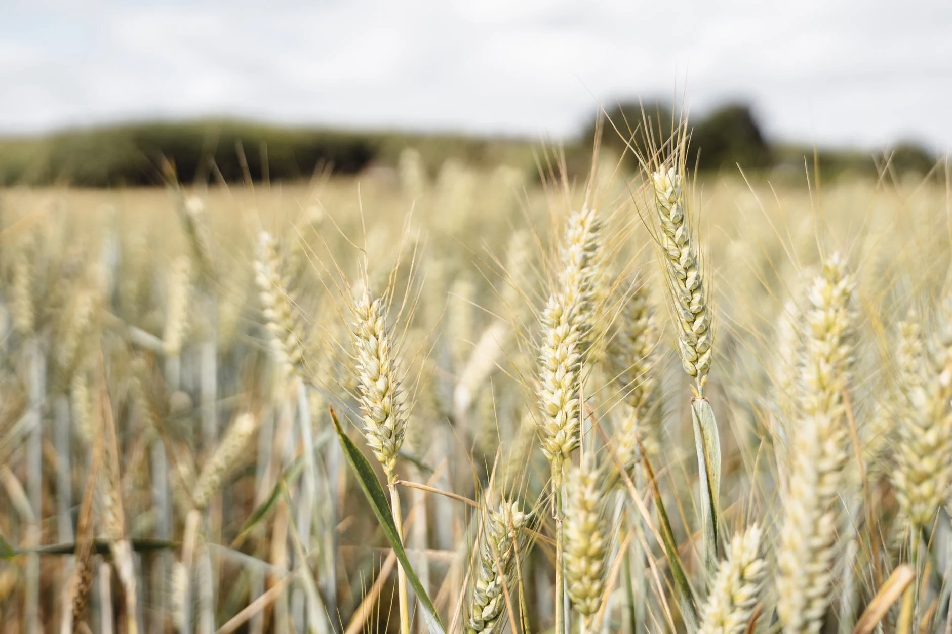 A field of wheat  Description automatically generated with medium confidence
