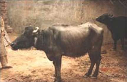 A buffalo with poor body condition and ketosis.