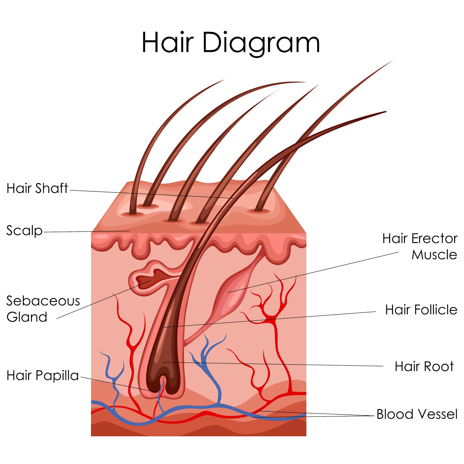 bariatric hair follicle
