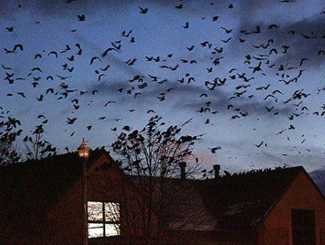 Nằm mơ thấy cả 1 đàn quạ trên nóc nhà
