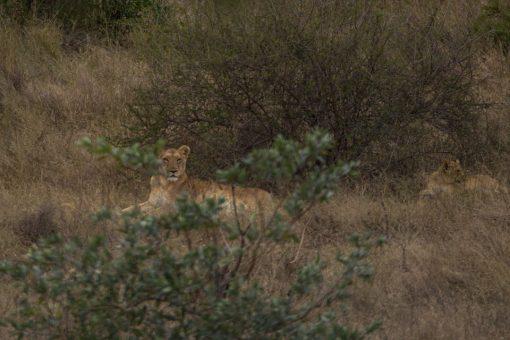 Animais selvagens da África do Sul - Leoa deitada mas com cabeça erguida com se estivesse em guarda.