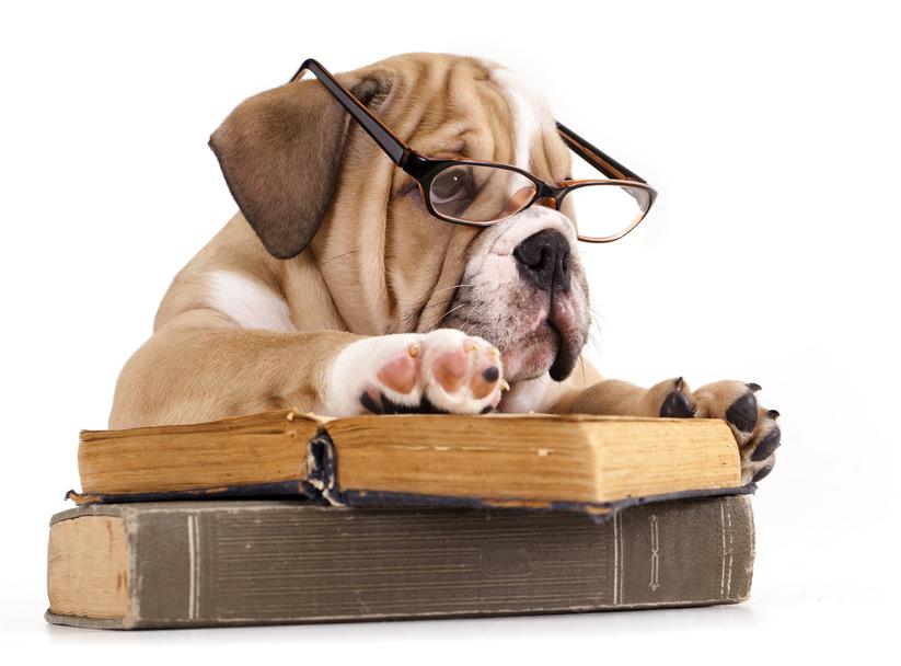 Purebred english Bulldog in glasses and book | Purebred engl… | Flickr
