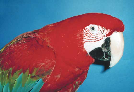 Green-winged macaws are beautiful and gregarious, but they need special homes because of their size, noise level, destructive habits and demand for attention