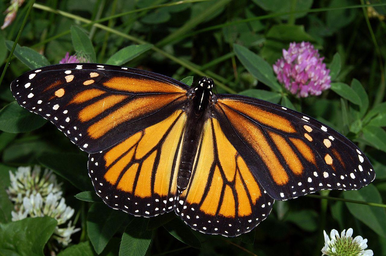 File:Monarch In May.jpg - Wikipedia