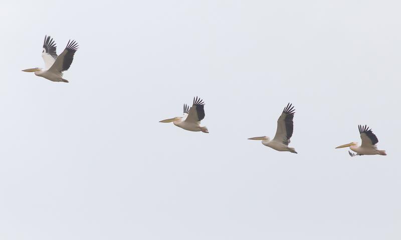 white pelicans_rsz.jpg