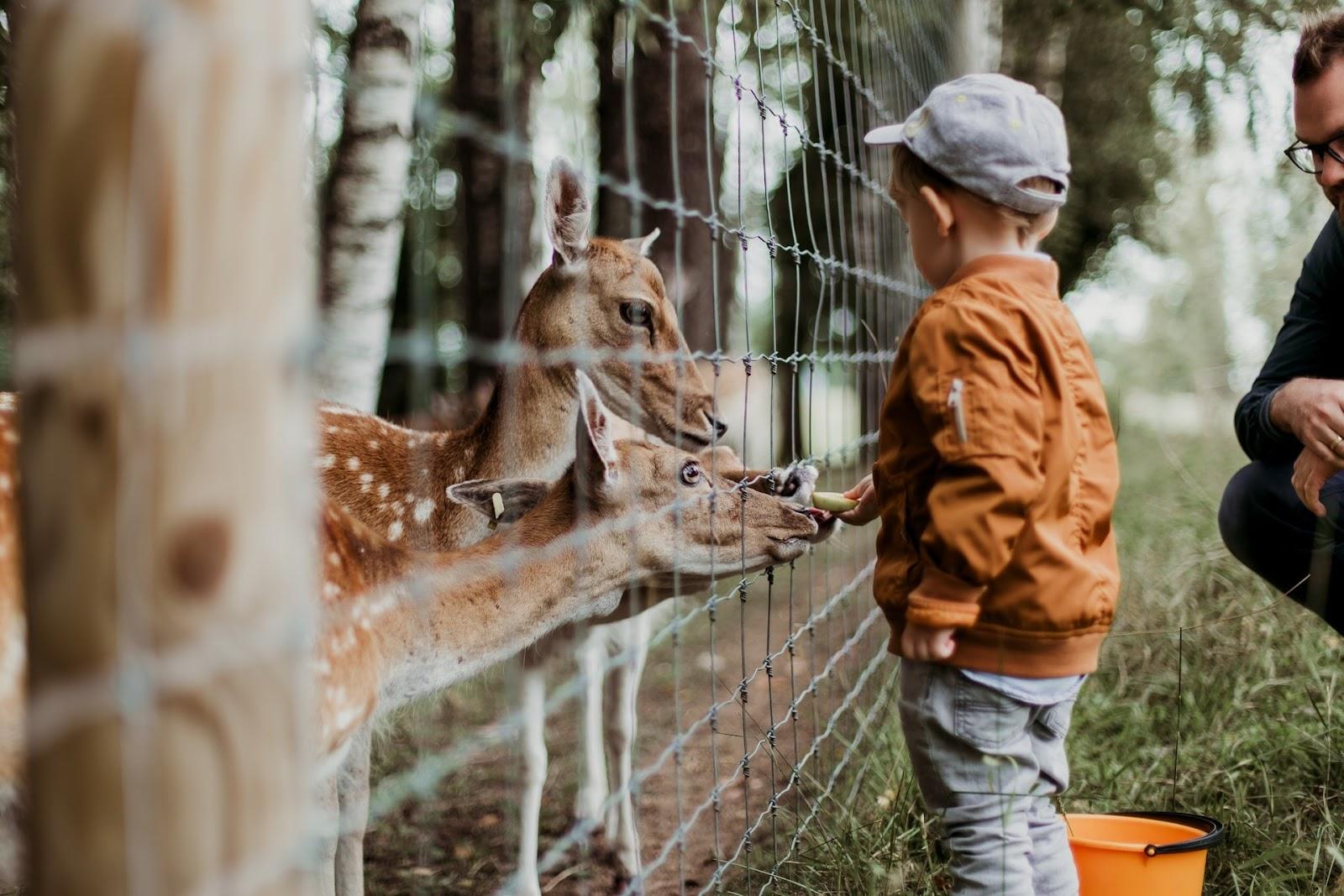 a kid feeding three deers in the zoo