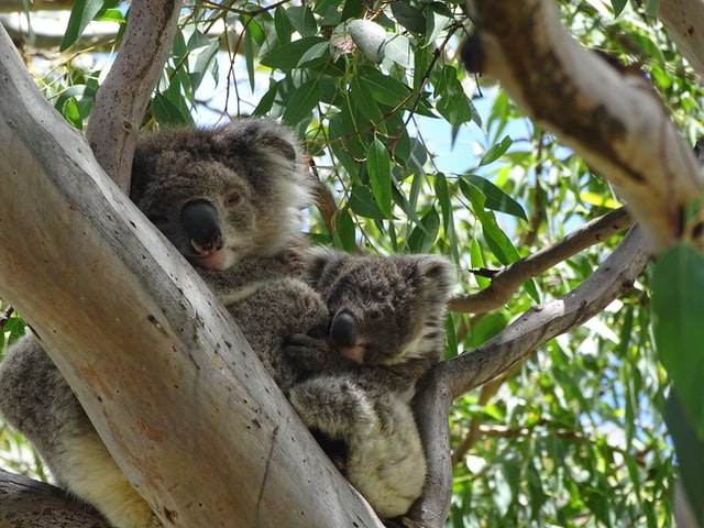 Spot Aussie Animals On Phillip Island is fun stuff to do in australia, fun things to do australia