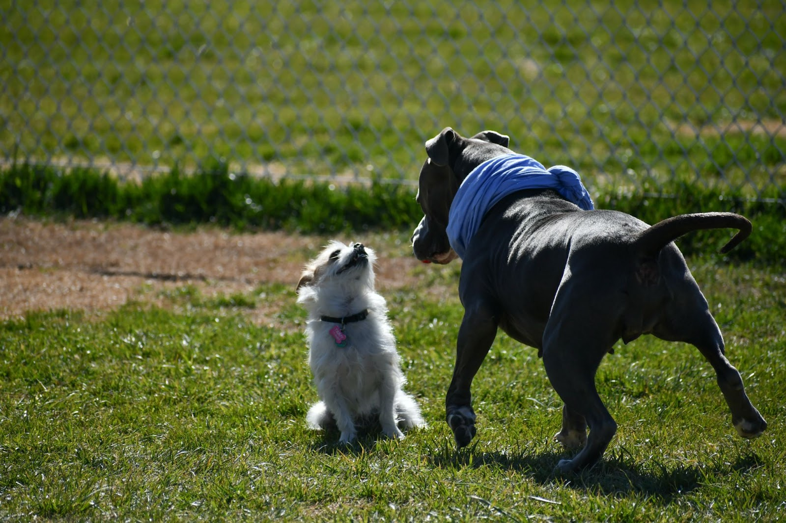 small and large dog greeting each other in dog park