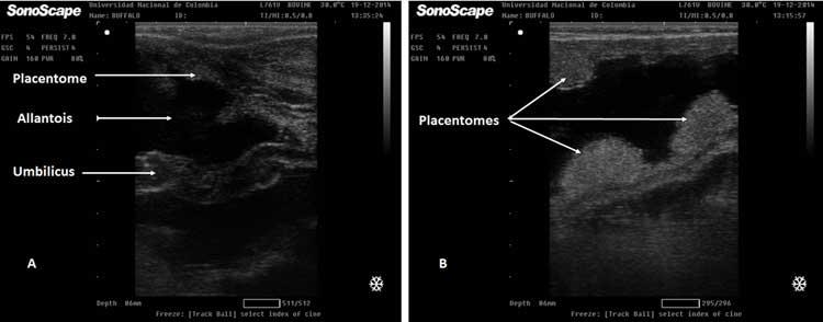Figura 23A. Imagen ecográfica del cordón umbilical en el Día 150 de gestación de búfala. 23B. Vista ecográfica de una búfala gestante de 150 días. Las flechas muestran placentomas de diferentes tamaños.