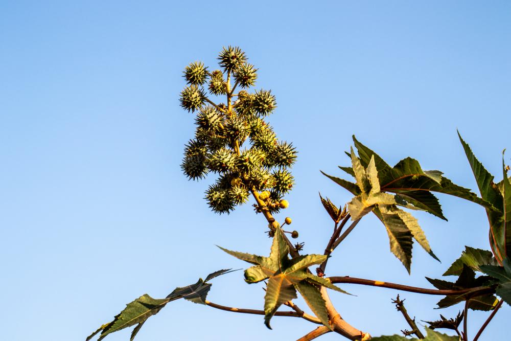 A melhor época para plantar mamona varia conforme a região. (Fonte: Shutterstock)