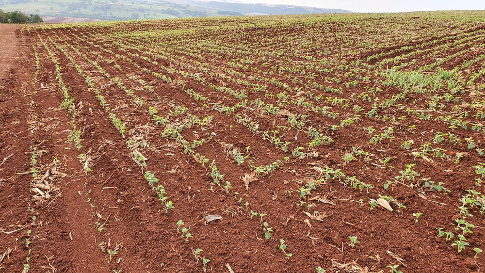 Uma plantação de soja em fase inicial de desenvolvimento. (Fonte: Shutterstock)