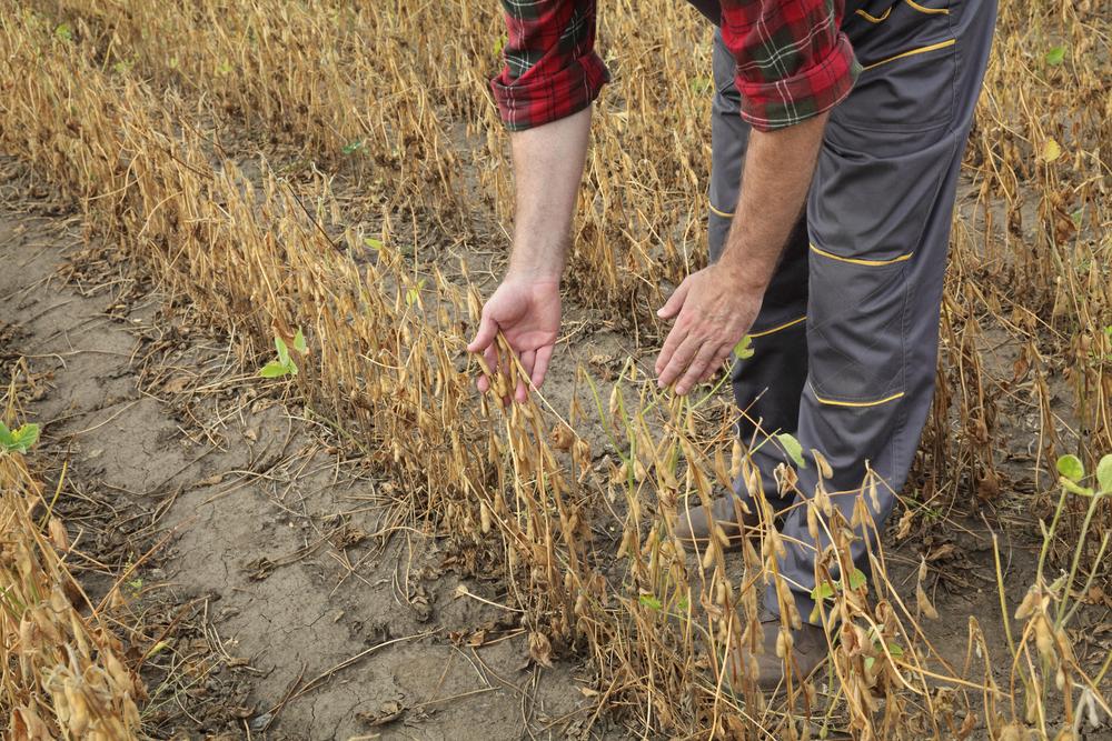 A seca atrapalha a produtividade e dificulta o replantio. (Fonte: Shutterstock)
