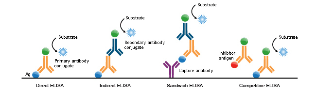 ELISA is one application of protein conjugation techniques