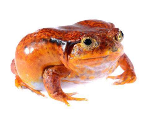 http://rivista-cdn.reptilesmagazine.com/tomato-frog1(1).jpg?ver=1386192960
