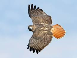 Red-tailed Hawk Identification, All About Birds, Cornell Lab of ...