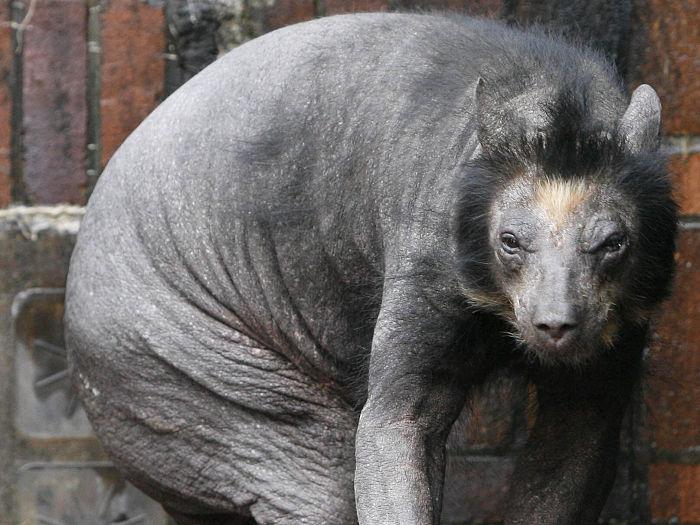 Urso pelado