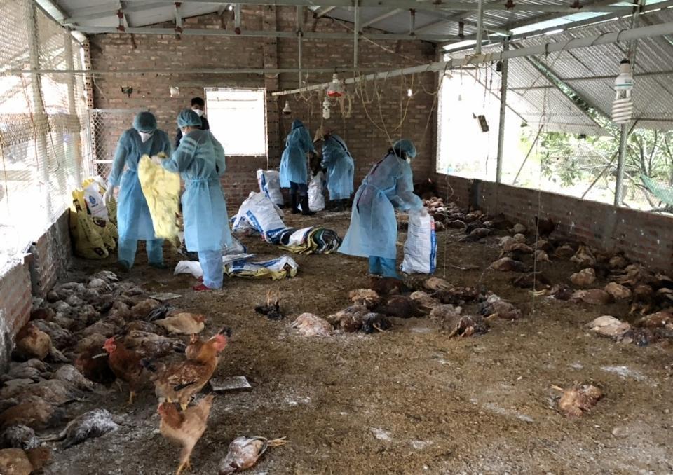 Lực lượng chức năng huyện Hải Hà tiêu huỷ số  gà mắc cúm gia cầm H5N6 của hộ dân ở  thôn 3, xã Quảng Chính, huyện Hải Hà.