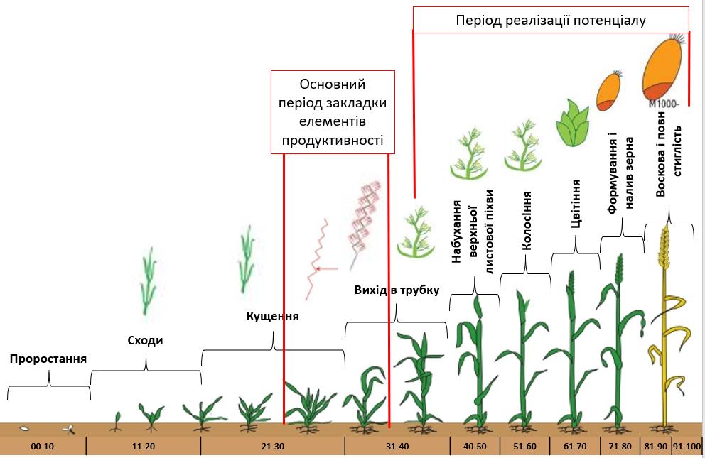 Гербіцидний захист озимої пшениці в період кущення – виходу в трубку препаратами DEFENDA фото 1 LNZ Group