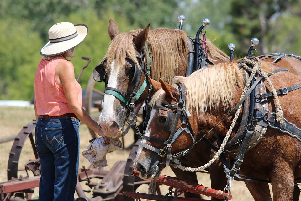 The best draft horses taking a break