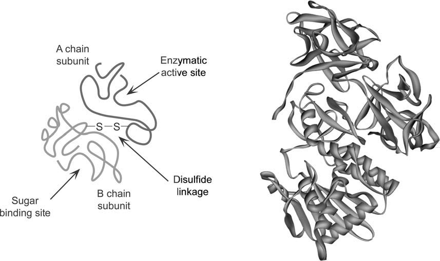 Conjugation of a toxin to a protein or antibody