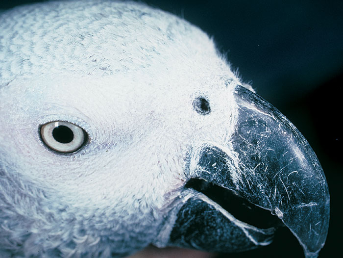 An African grey demonstrates a mild or early stage of accumulation of debris on the operculum