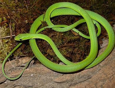 Mga resulta ng larawan para sa rough green snakes