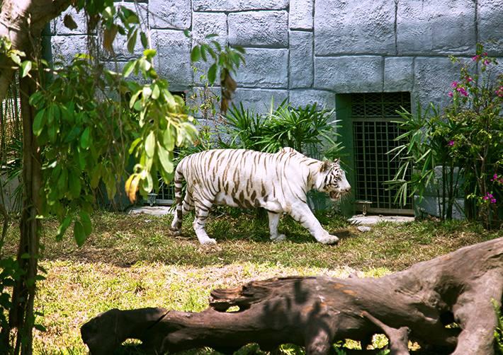 Vinpearl-Land-Nha-Trang-tiger