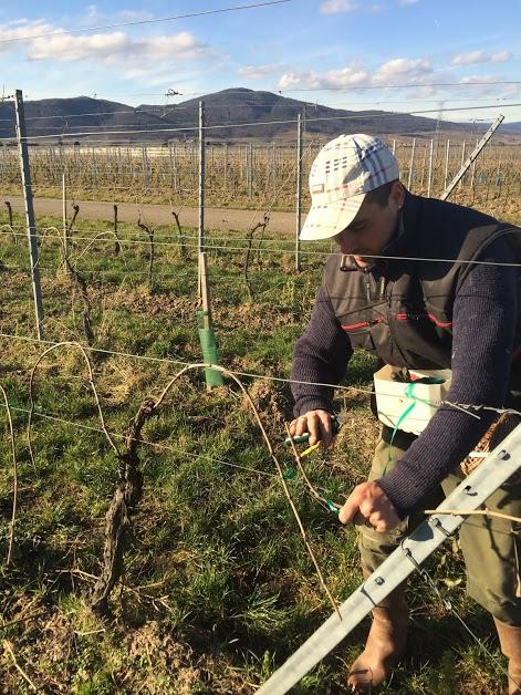 Vigneron en train de lier sa vigne (taille en guyot double arqué)