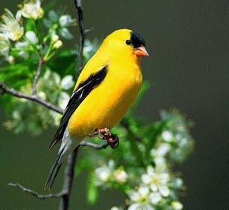 Little Yellow Bird >> Ten Most Beautiful Species Of Birds In Tennessee