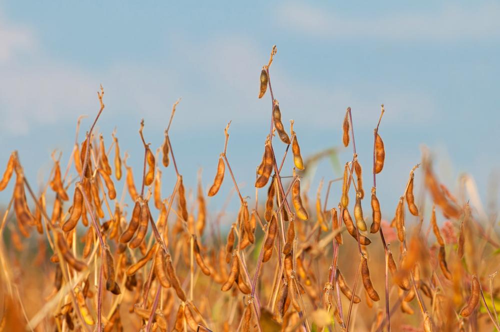 Estiagem deve atrasar o plantio no Brasil e pode prejudicar lavouras na América do Sul. (Fonte: Shutterstock)
