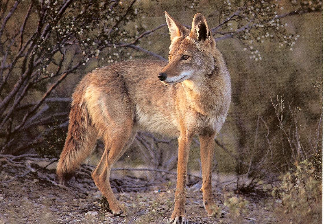 coyote11.jpg