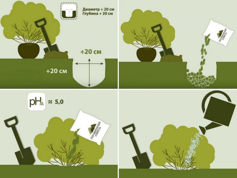 Подготовка места и почвы для пересадки гортензии
